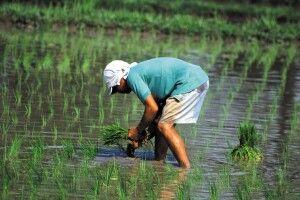 Nassreissetzlinge pflanzen ist eine ansterengedeund langwierige Arbeit