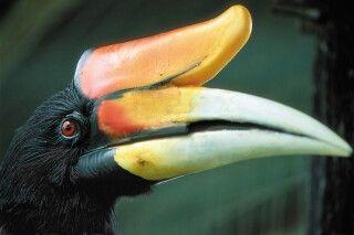 Nashornvogel, manchmal auch nur Hornvogel genannt, im Dschungel von Borneo
