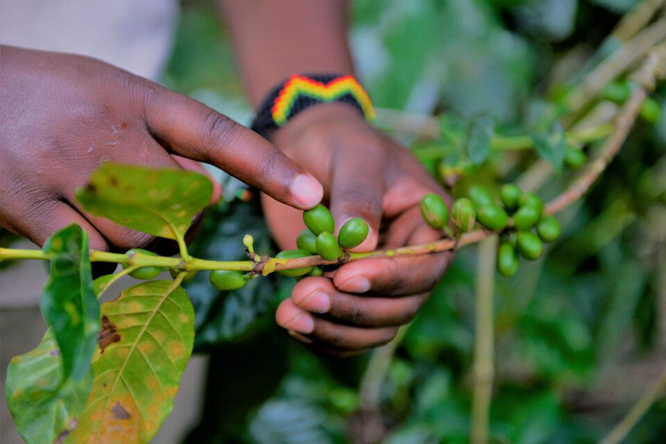 Kaffeepflanze, Coffee Tour