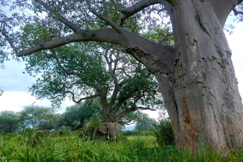 Baobab im Tarangire