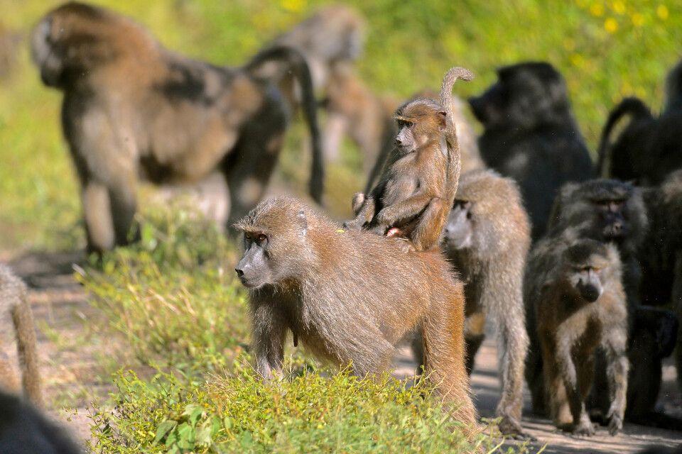 Paviane im Lake Manyara NP