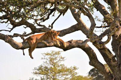 Baumlöwe in der Serengeti