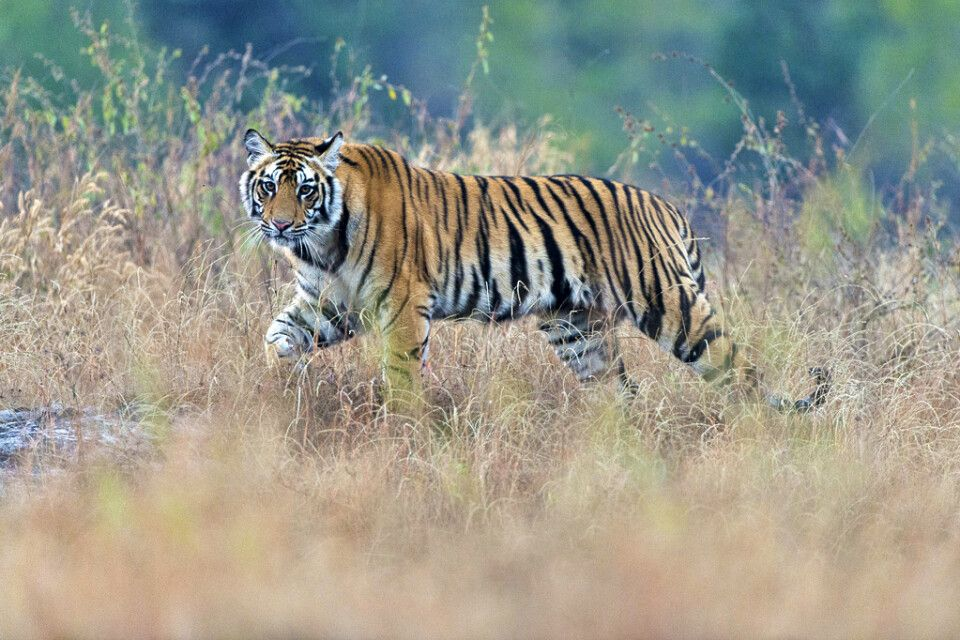 Tiger im Bandhavgarh Nationalpark