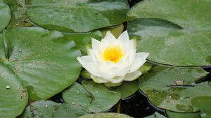 Lotus - Symbol für Schönheit und Weisheit