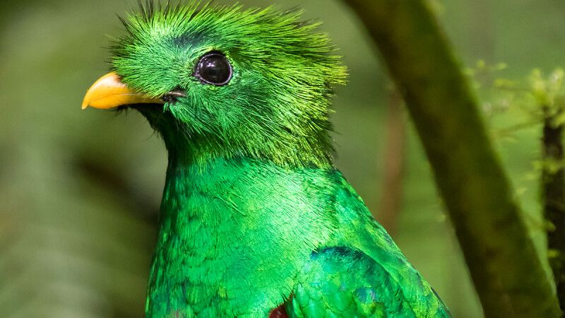 Quetzal © Diamir