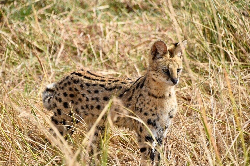 Serval, die Afrikanische Wildkatze