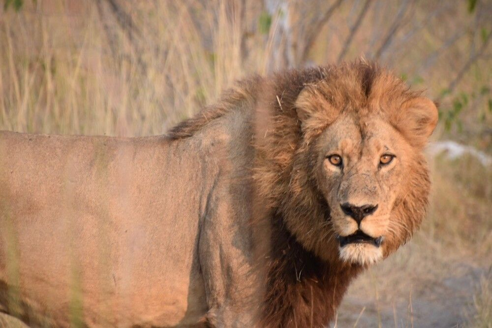 Löwe im milden Sonnenlicht