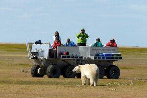 Begegnung mit einem Eisbär bei einer Fahrt im Rhino, Nanuk Polar Bear Lodge