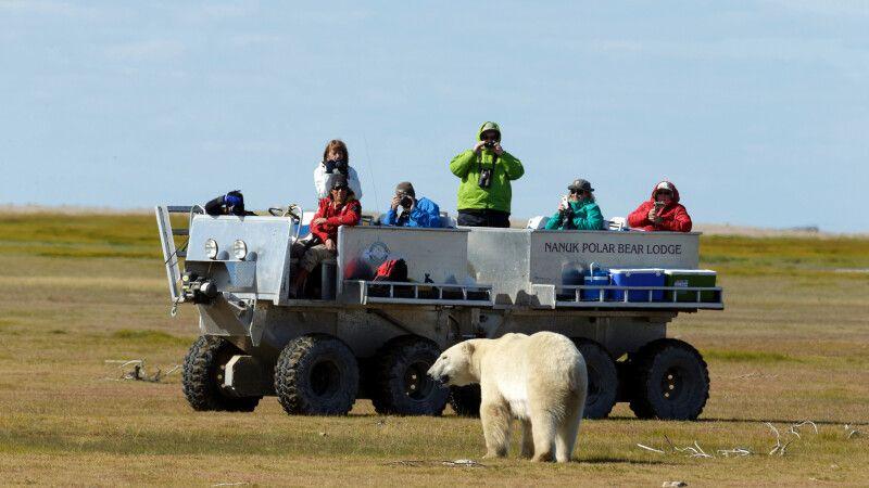 Begegnung mit einem Eisbär bei einer Fahrt im Rhino, Nanuk Polar Bear Lodge © Diamir