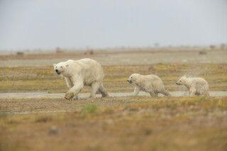 Eisbärmutter mit zwei Jungen, Nanuk Polar Bear Lodge