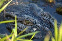 Krokodil im Kakadu-Nationalpark