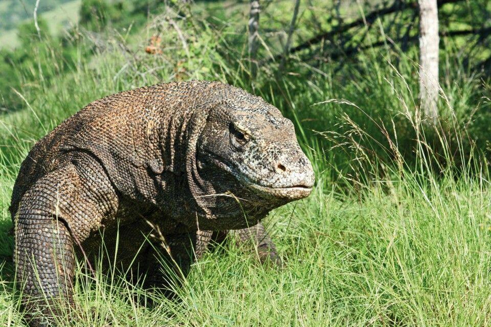 bei den Komodowaranen, der größten gegenwärtig lebenden Echsenart der Welt