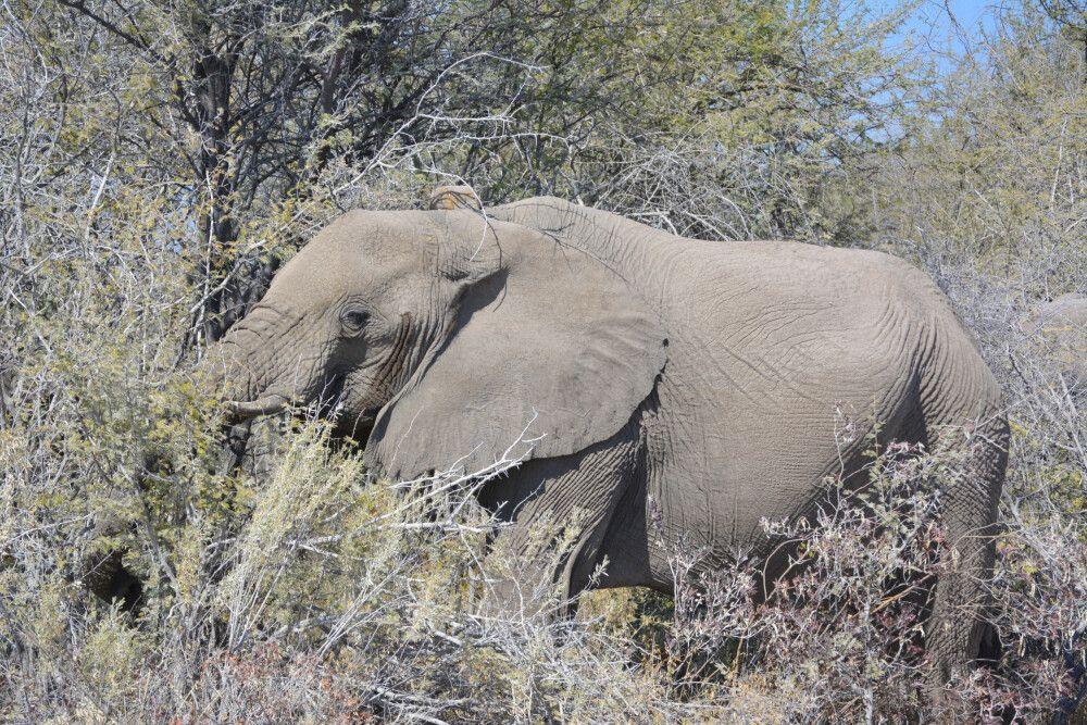 Elefant im Etosha-Nationalpark
