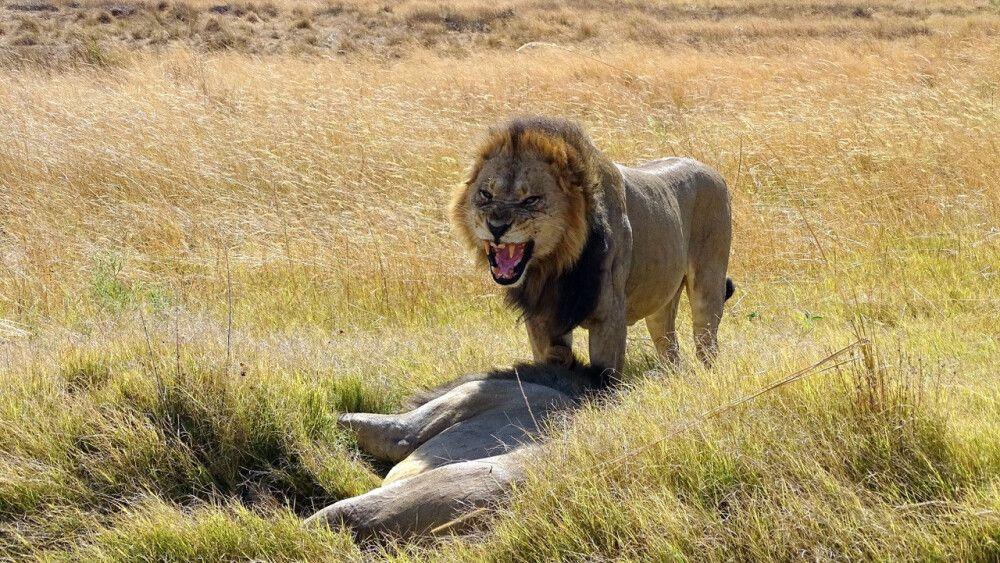 Löwe im Gegenlicht