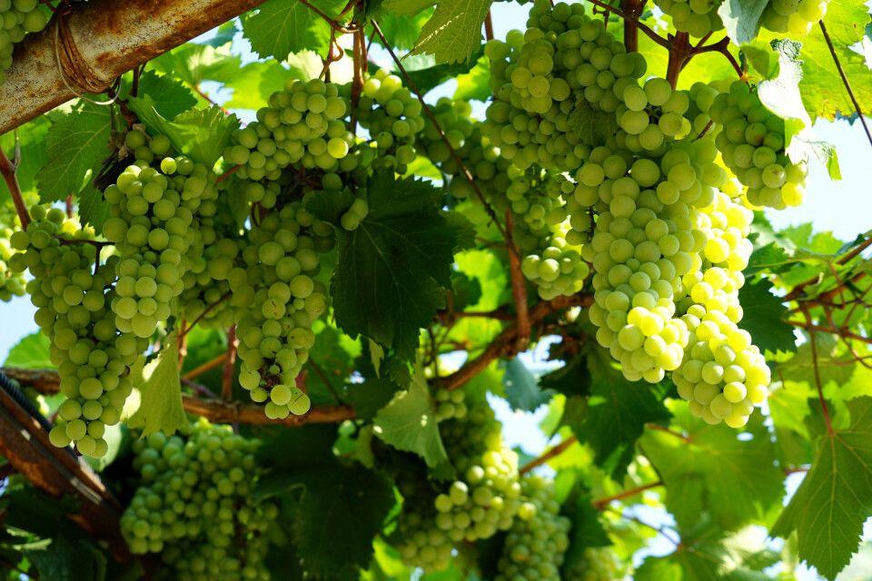 leckere Trauben, welche zu Wein verarbeitet werden
