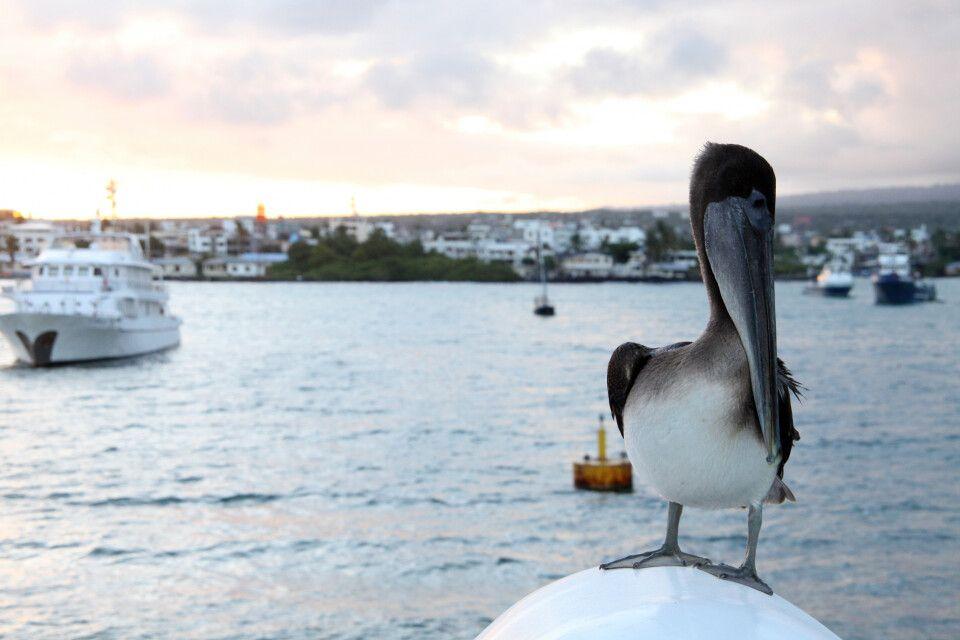 Pelikan an Bord