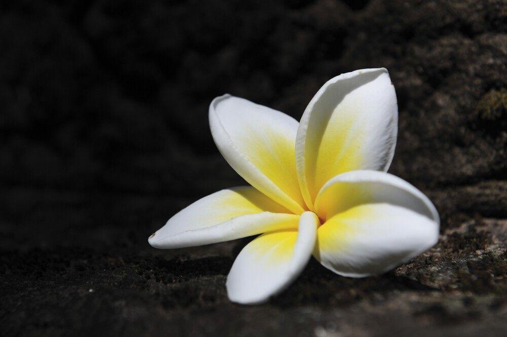 Weiße Frangipaniblüte – die Nationalblume von Laos
