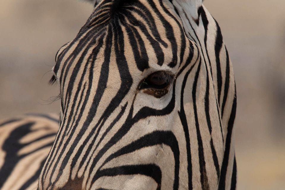 Zebra im Etosha-Nationaloark
