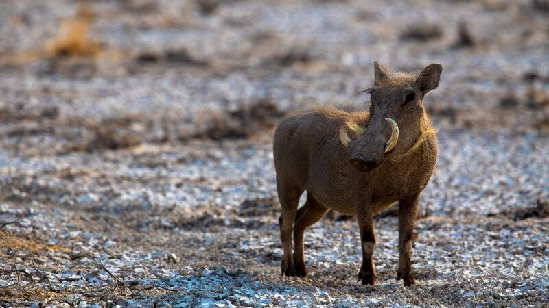 Warzenschwein im Etosha NP © Diamir