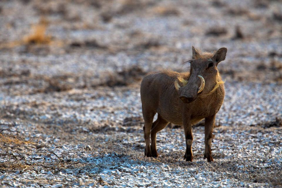Pumba - Warzenschwein im Etosha NP