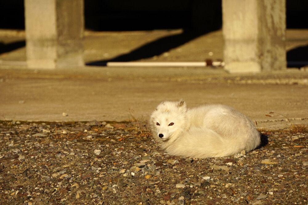 Polarfuchs in der Sonne