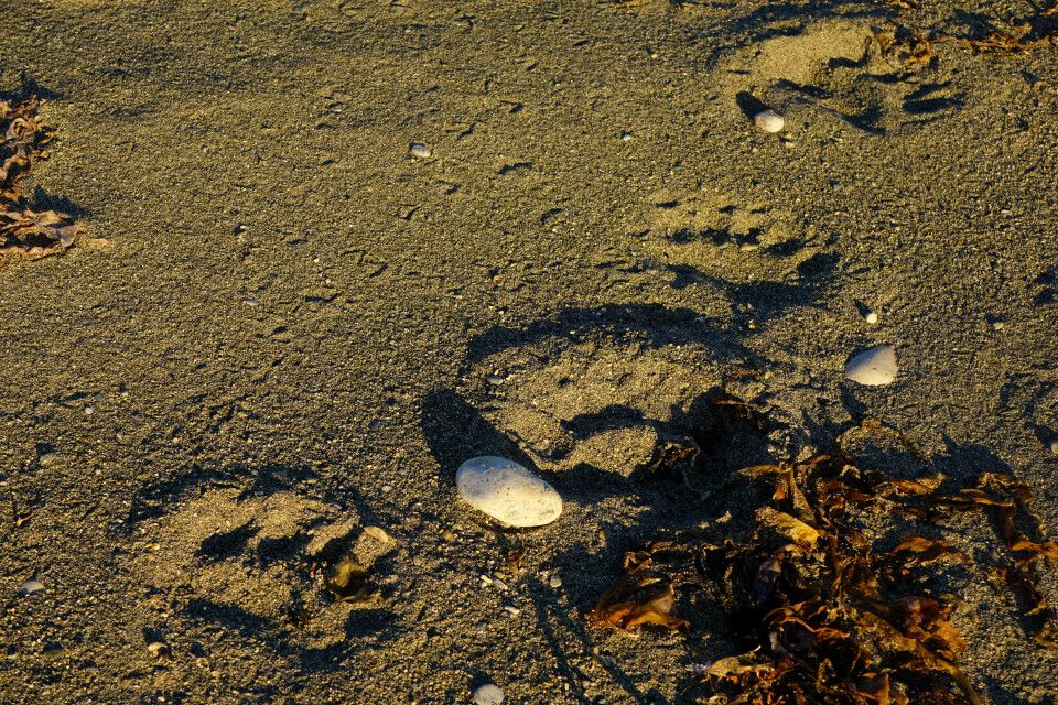 Eisbärenspuren am Strand