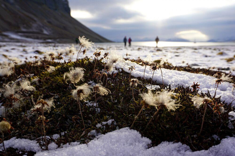 Arktische Flora im ersten Schnee