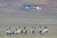 Schwarzhalskraniche im Phobjika-Tal