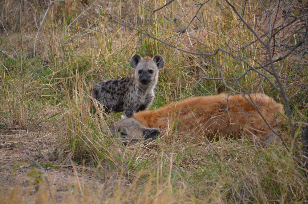 Hyene beim Dinner