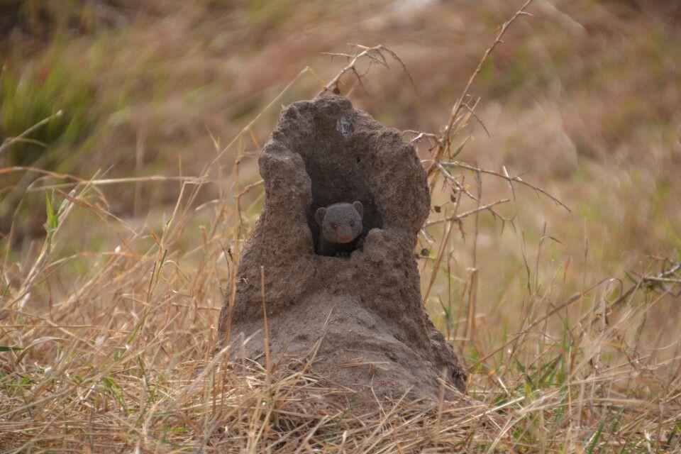 Mungo im Termitenhügel
