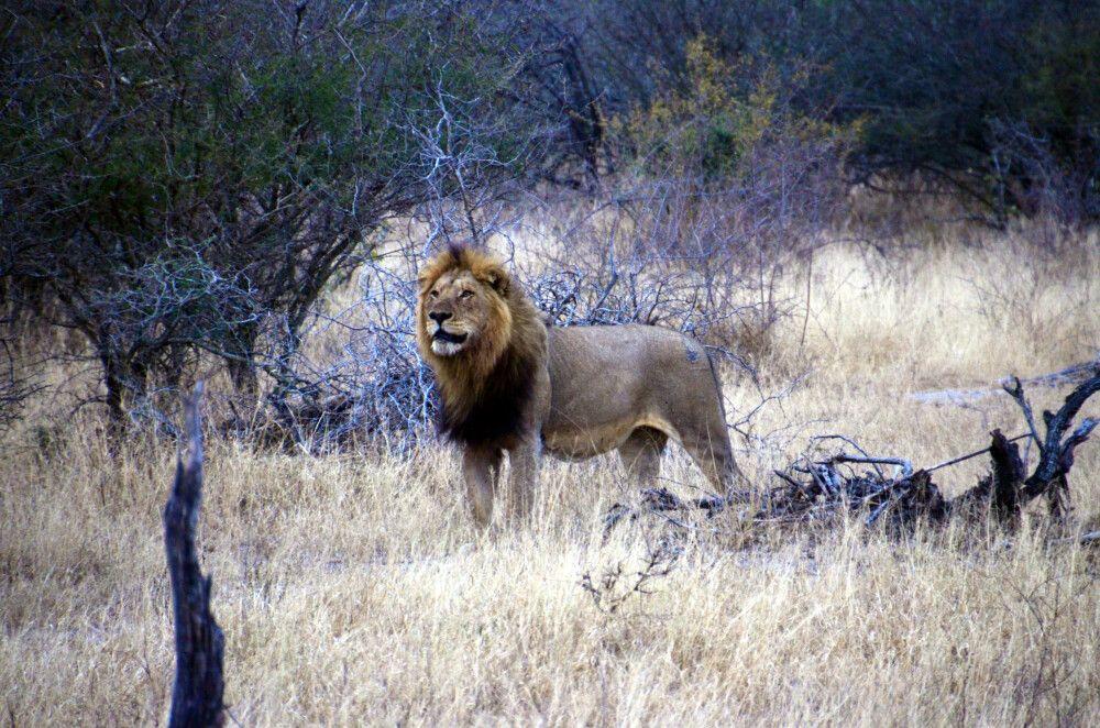 Löwe in der Dämmerung
