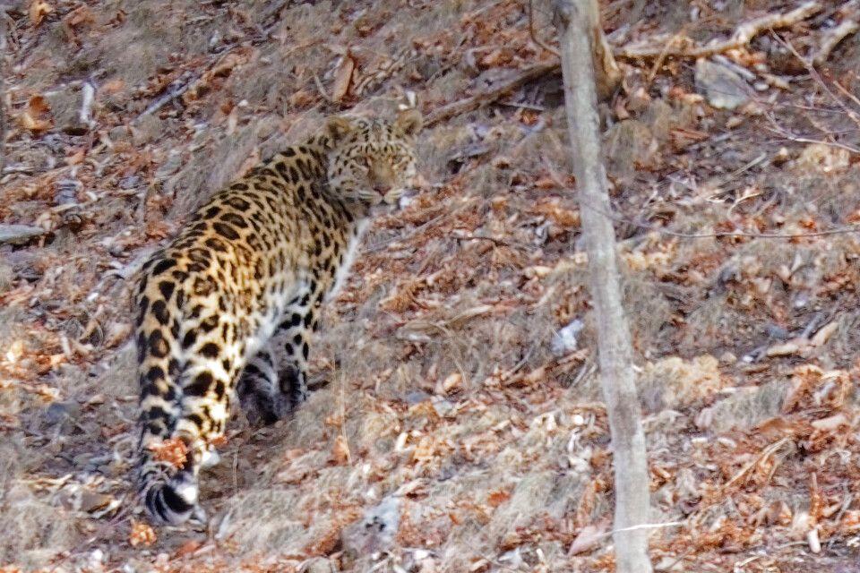 Amurleopard im Wald