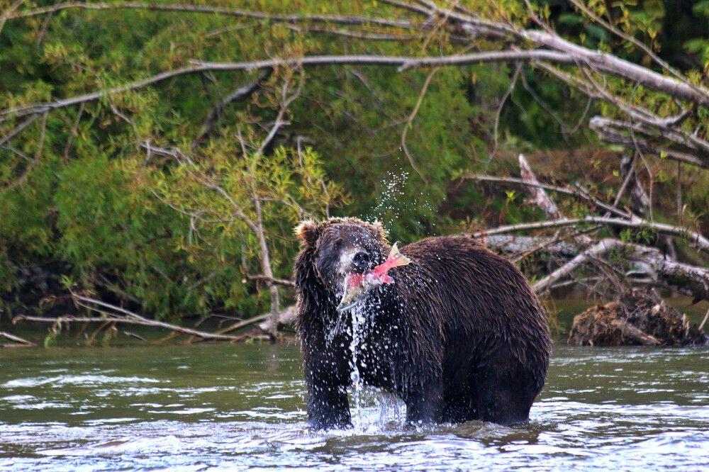 Bär beim Fischfang