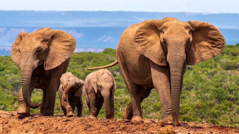 Elefantenfamilie im Addo Elephant Park © Diamir