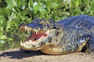 (Südlicher) Brillenkaiman (Caiman yacare) im Pantanal