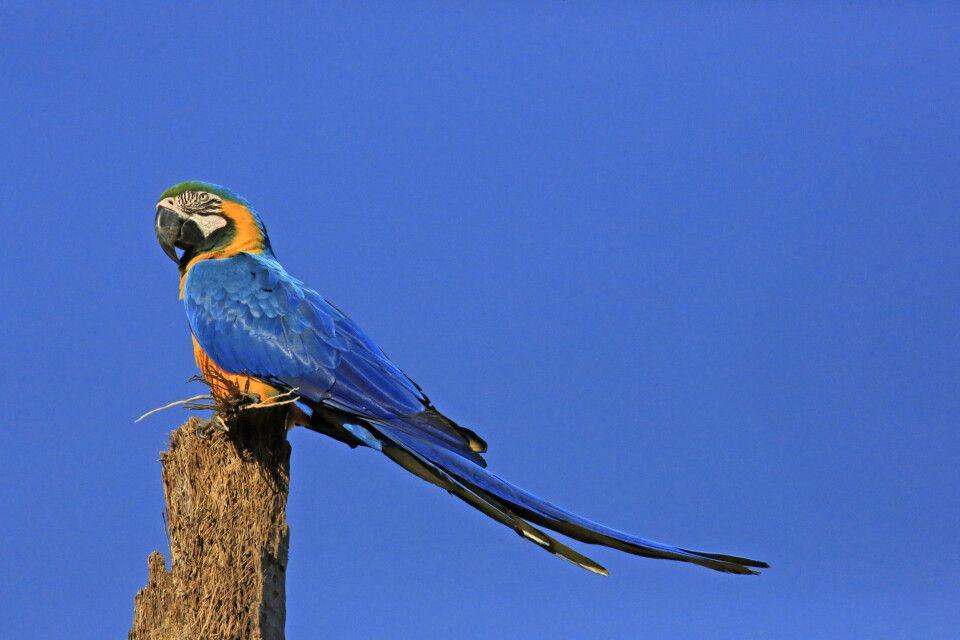 Gelbbrustara (Ara ararauna) im Pantanal