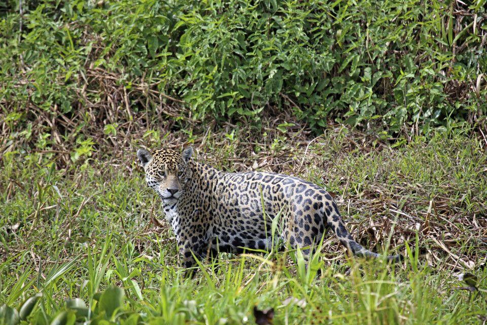 Jaguar (Panthera onca) im Pantanal