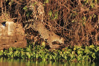 Der Jaguar (Panthera onca): unbestrittener König des Pantanals.