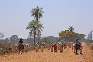 Pantaneros treiben ihr Vieh gen Süden