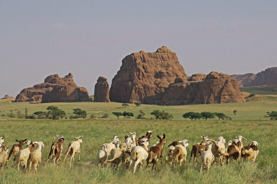 Ziegenherde im Ennedi-Massiv