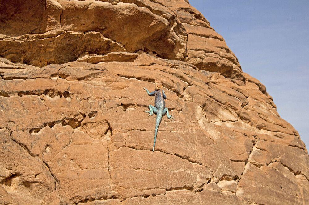 Gecko beim Sonnenbad in der Sahara