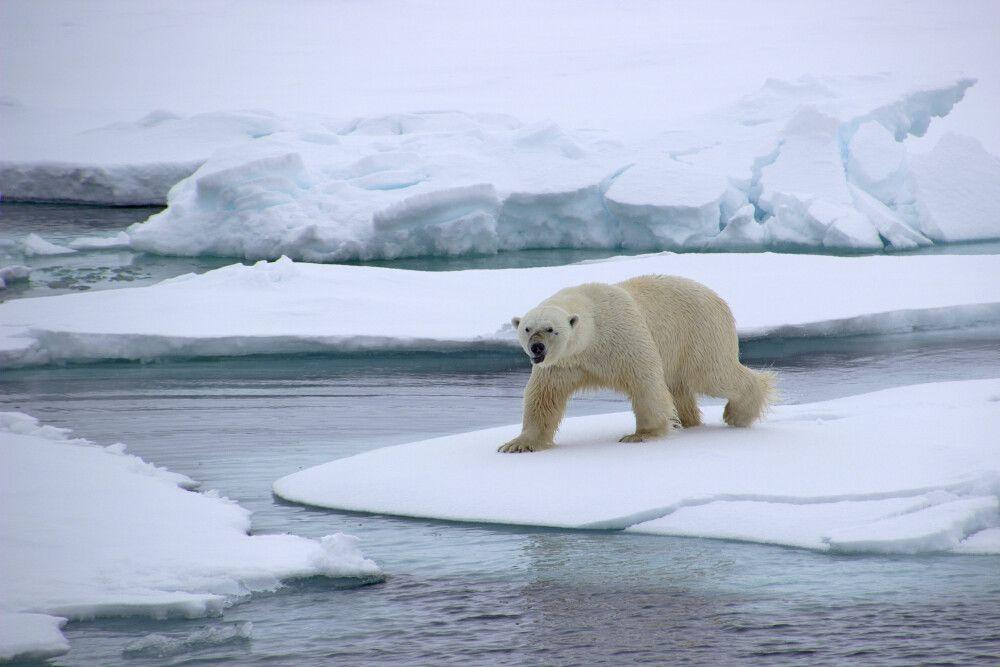 Gut genährtes Eisbär-Männchen
