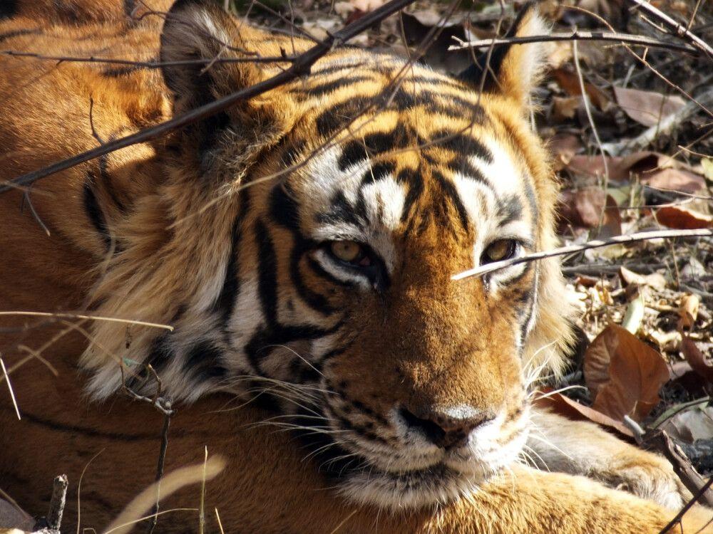 Indien Bengalischer Tiger