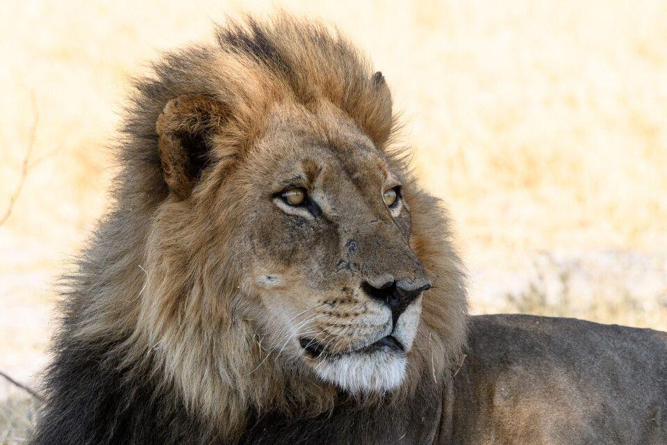 Entspannter Herrscher, im Schatten ruhend: Löwe in der Kwara Concession