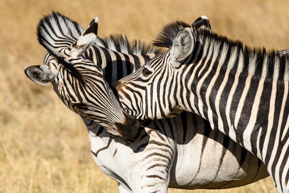 Zebras beim Kräftemessen, Kwara Concession