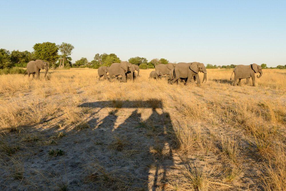 Schattenwesen: die Fotografen mit einer Elefantenherde, Kwara Concession