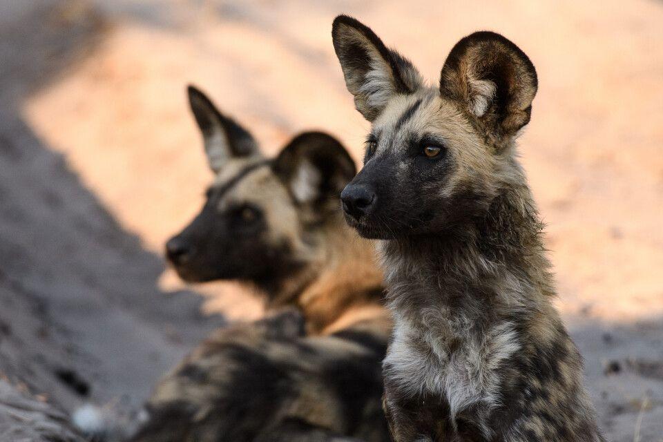 Afrikanische Wildhunde – Botswana ist einer der besten Orte, um die vom Aussterben bedrohte Art zu beobachten (Kwara Concession).