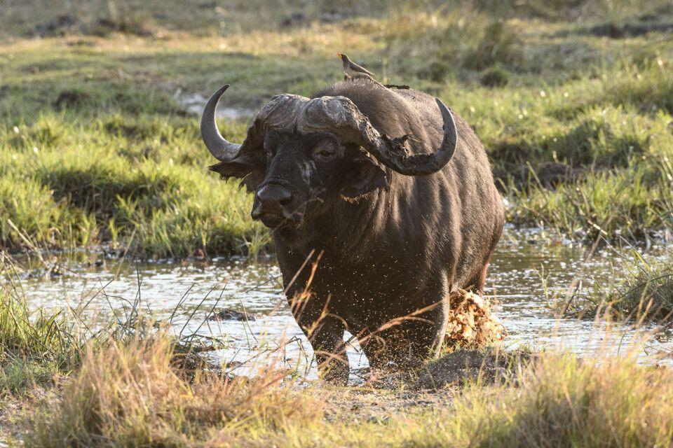 Schlamm macht schön: Afrikanischer Büffel beim Beauty-Bad, Kwara Concession
