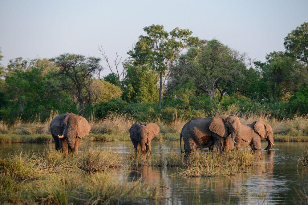 Hitze macht durstig: Afrikanische Elefanten versammeln sich am Abend zum Trinken an einer Lagune, Kwara Concession