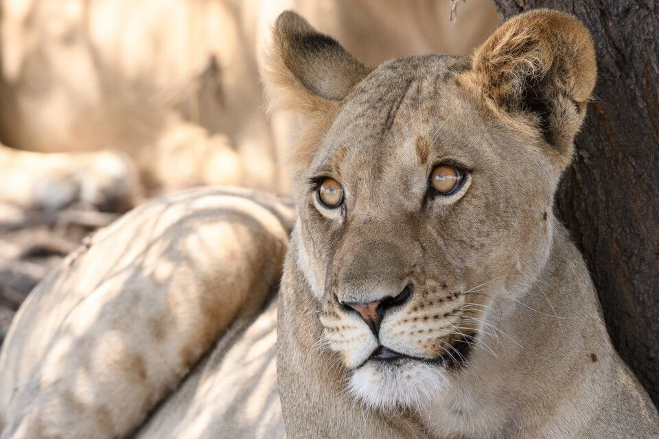 Im Schatten wächst die Neugier: junge Löwin, Central Kalahari Game Reserve